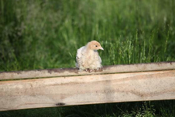 Jersey-Buff-Poult
