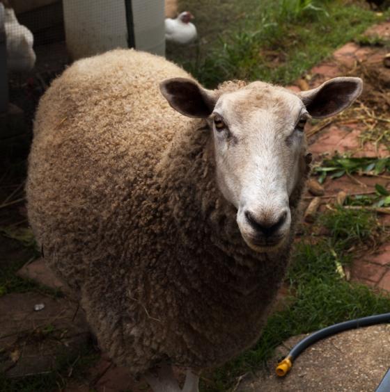 Sheep-looking-at-me